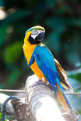 Blue-and-yellow Macaw (Ara ararauna) -- Peru / Centro De Rescate Taricaya
