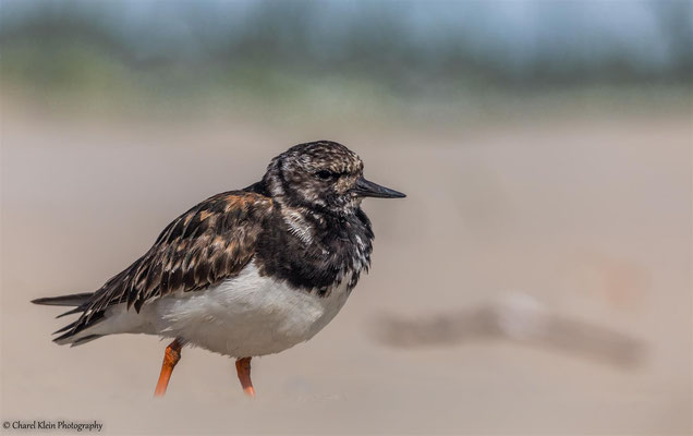 So many  -- Ruddy Turnstone          (Arenaria interpres)  --  Roadtrip2014 -- Belgium -- September 2014