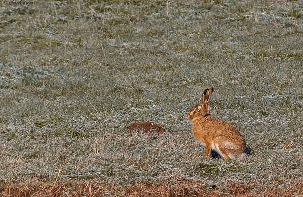 Feldhase  |  European hare  (Lepus europaeus)