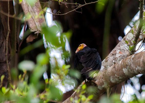 Kleine Gelbkopfgeier       Lesser Yellow-headed Vulture (Cathartes burrovianus)   -- Peru / Centro De Rescate Taricaya