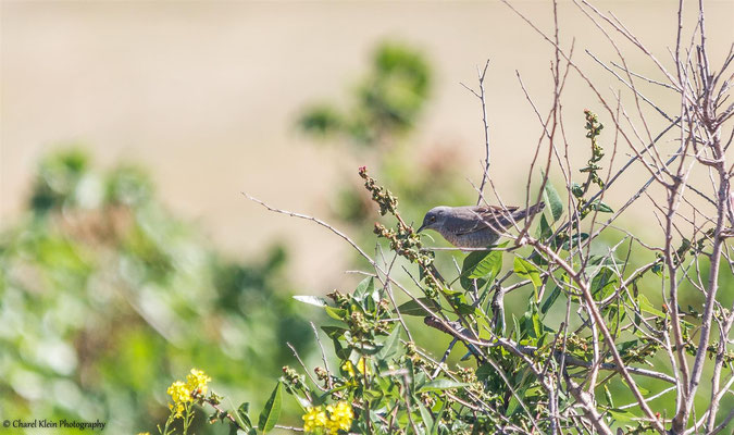 Barred Warbler (Sylvia nisoria) -- Birdingtrip Turkey 2015