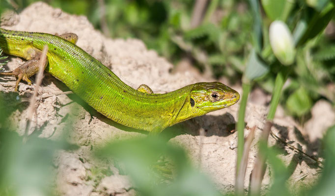 Western Green Lizard  -- Badberg / Germany