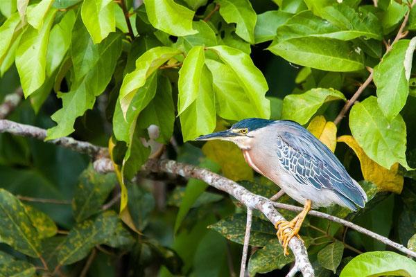 Striated Heron  (Butorides striata) -- Peru / Centro De Rescate Taricaya