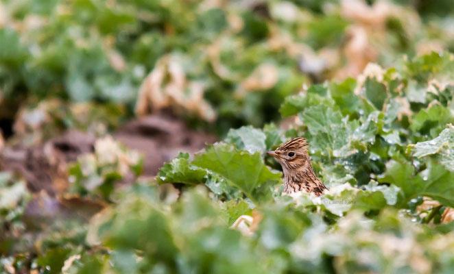 Skylark (Alauda arvensis) -- Luxembourg