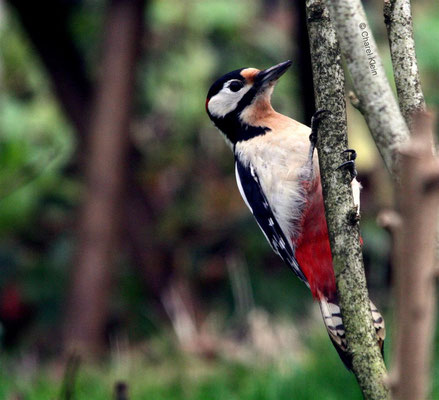 Great Spotted Woodpecker (Dendrocopos major) -- Luxembourg