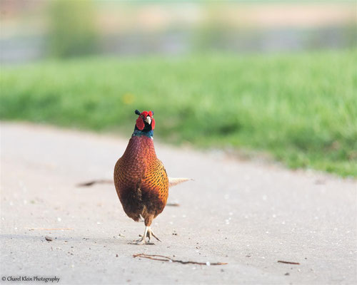 Pheasant         (Phasianus colchicus)   --  Germany / France