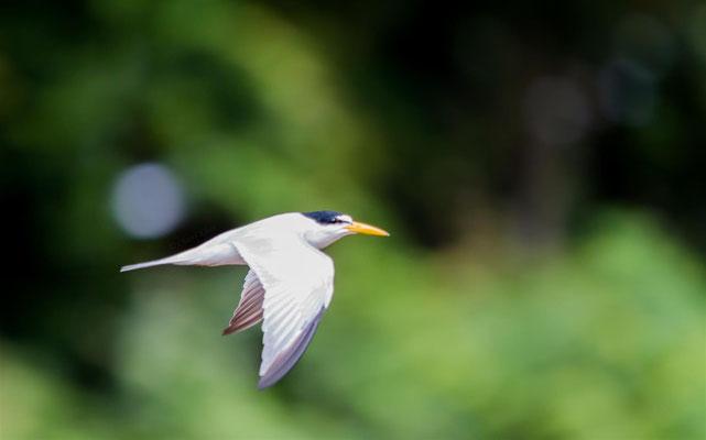 Yellow-billed Tern     (Sternula superciliaris) -- Peru / Centro De Rescate Taricaya -- July 2013