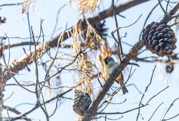 Dead Sea Sparrow (Passer moabiticus) -- Birdingtrip Turkey 2015
