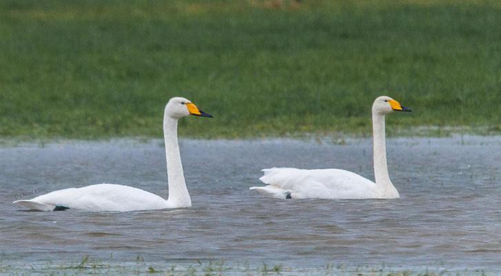 Whooper Swan (Cygnus cygnus) -- Luxembourg