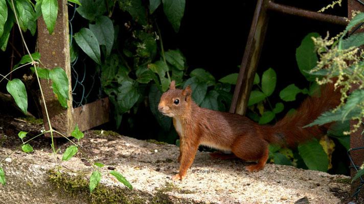 Eichhörnschen / Red squirrel     (Sciurus vulgaris)