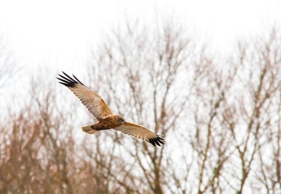 Marsh-harrier    (Circus aeruginosus)   -- Luxembourg