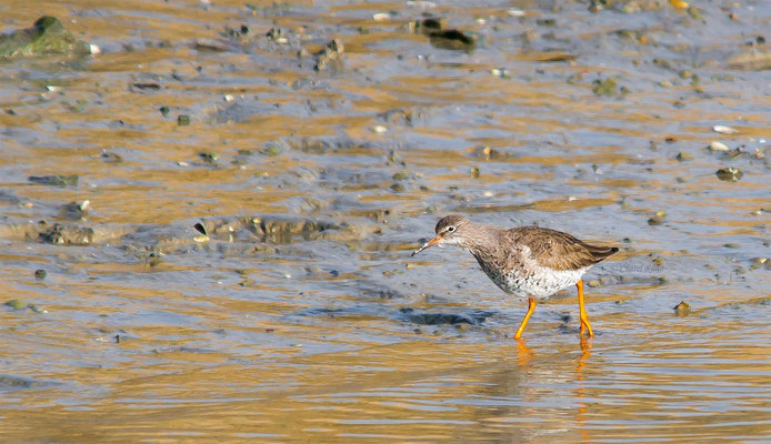 Common Redshank       (Tringa totanus)  -- Belgium