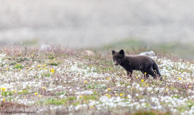Arctic fox   (Vulpes lagopus)   --   Traill / Karupelv Valley Project / Greenland   -- 2015