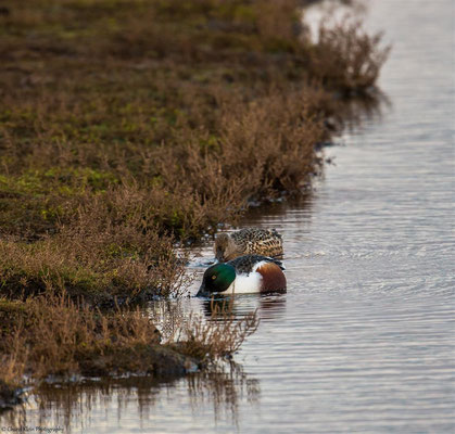 Northern Shoveler   (Anas clypeata)   --   Zeeland / Netherlands -- December 2014
