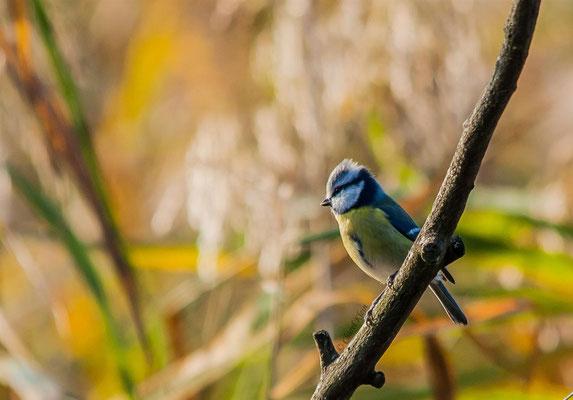 Blue Tit  (Cyanistes caeruleus) -- Luxembourg