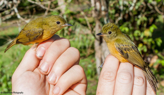 McConnell's Flycatcher (Mionectes macconnelli) & Ochre-bellied Flycatcher (Mionectes oleagineus) -- 2016