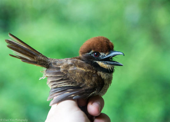 Chestnut-capped Puffbird (Bucco macrodactylus)  --  2016