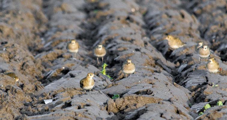 European Golden Plover (Pluvialis apricaria) -- Birdringtrip in Zeeland / Netherlands -- Dezember 2013