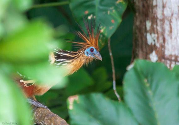 Hoatzin (Opisthocomus hoazin)   --- Lake Sandoval / Peru