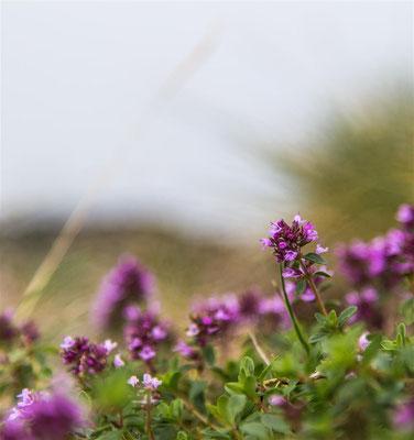 Majoran  |  Marjoram  (Origanum majorana) -- Belchen / Germany