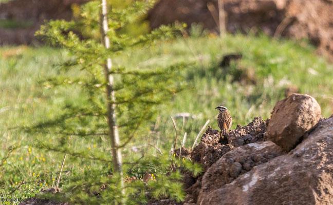 Rock Bunting    (Emberiza cia)    -- Birdingtrip Turkey 2015