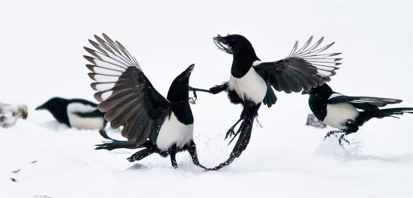 Common Magpie (Pica pica) -- Luxembourg