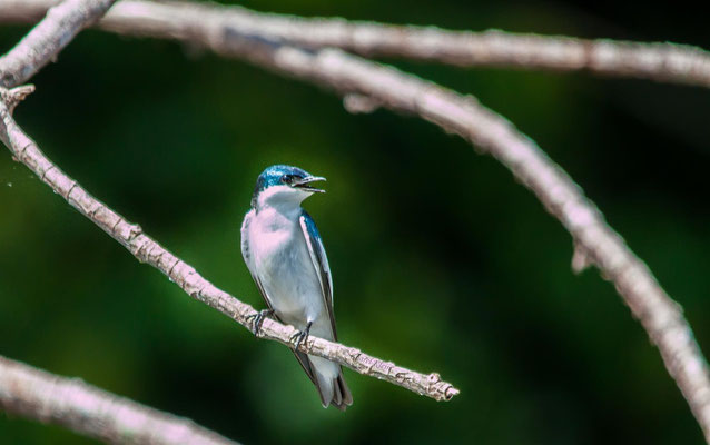 White-winged Swallow (Tachycineta albiventer) -- Peru / Centro De Rescate Taricaya