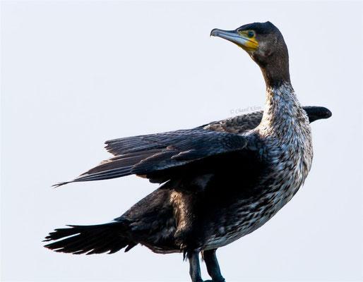 Kormoran | Great Cormorant (Phalacrocorax carbo) -- Zealand / Nederland