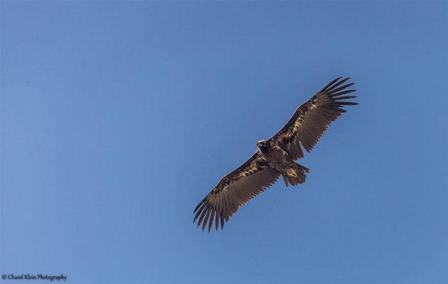 Cinereous Vulture (Aegypius monachus) -- Birdingtrip Turkey 2015