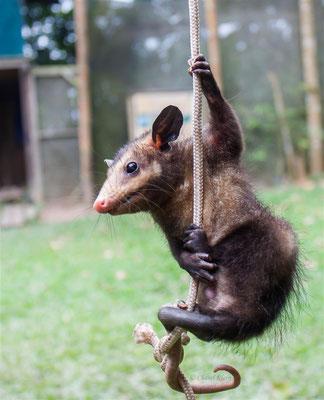 Common opossum  -- Peru / Centro De Rescate Taricaya