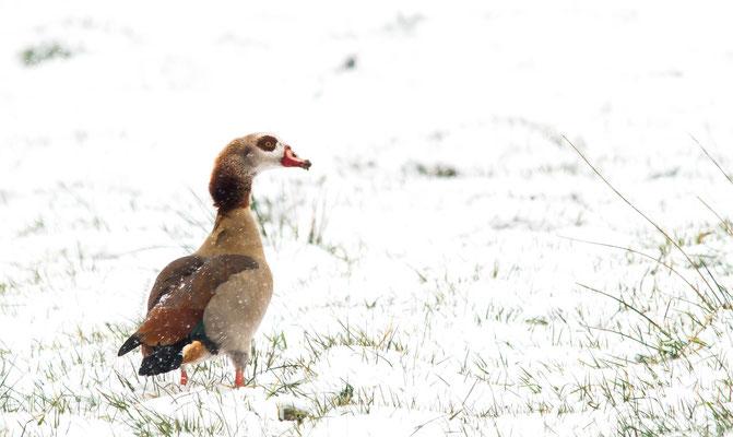Nilgans /  Egyptian Goose         (Alopochen aegyptiacus)