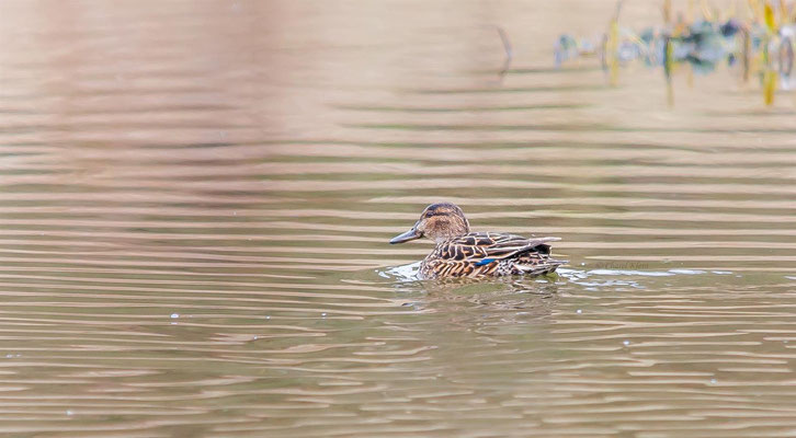 Teal (Anas crecca) -- Luxembourg
