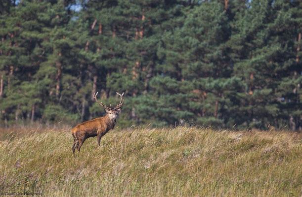 Heat of Red Deers (Cervus elaphus) -- Darss / Germany -- September 2014