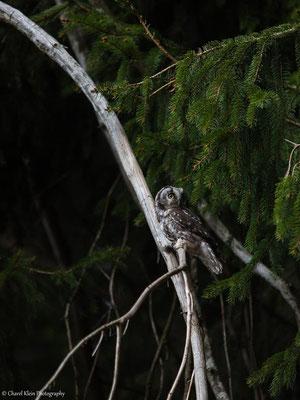 Tengmalm's owl       (Aegolius funereus)   -- Germany