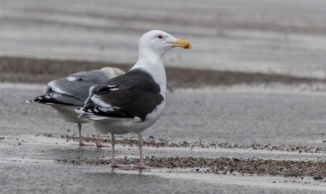 Mantelmöwe | Great black-backed gull (Larus marinus)