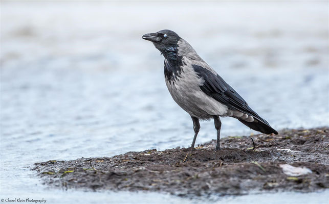 Hooded crow   (Corvus cornix)   --   Darss / Germany   --  September 2014