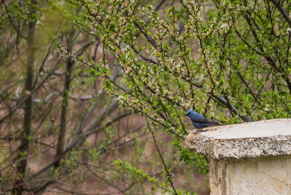 Blue Rock Thrush (Monticola solitarius) -- Birdingtrip Turkey 2015