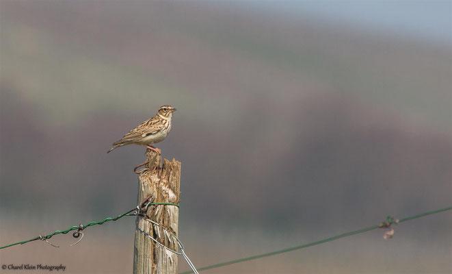 Woodlark (Lullula arborea) / breeding Woodlarks -- 2015 / Luxembourg