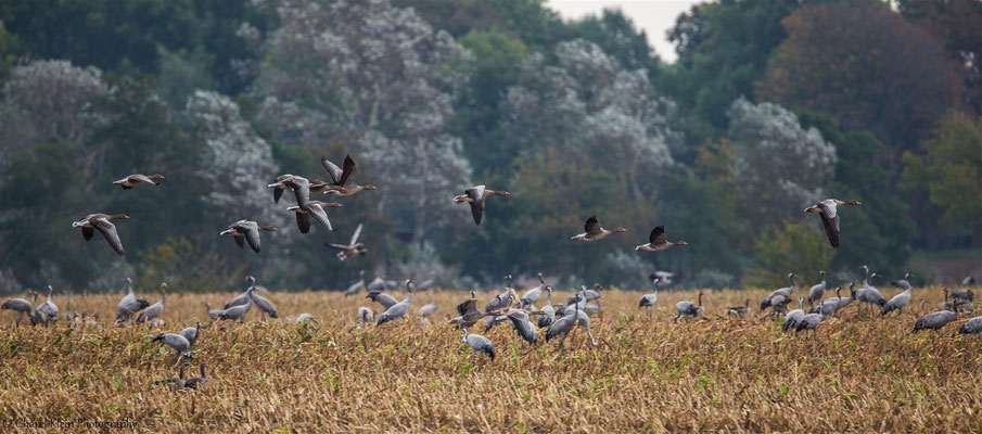 Greylag Goose   (Anser anser)   --   Darss / Germany   --   September 2014