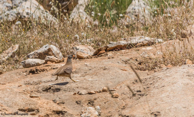 See-see Partridge (Ammoperdix griseogularis) -- Birdingtrip Turkey 2015