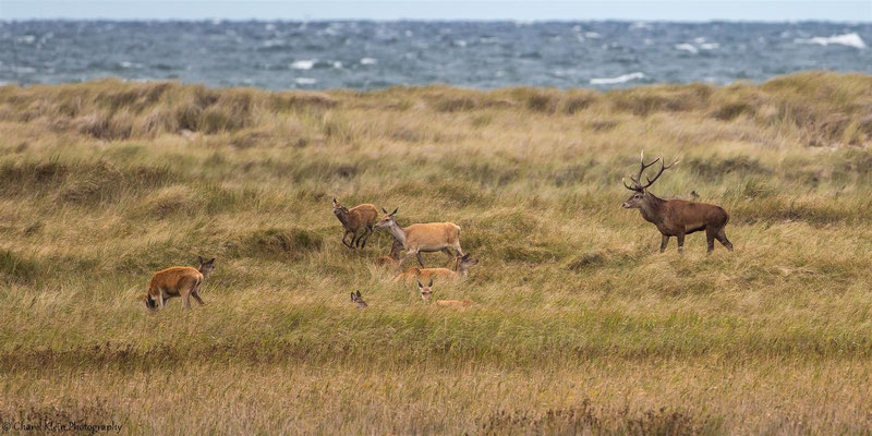 Heat of Red Deers (Cervus elaphus) -- Darss / Germany -- September 2014