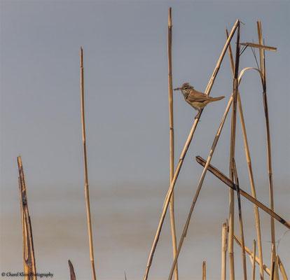 Paddyfield Warbler (Acrocephalus agricola) -- Birdingtrip Turkey 2015