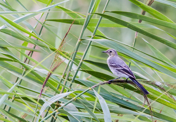White Wagtail   (Motacilla alba)    --  Luxembourg