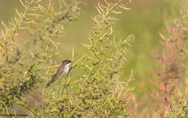 Ménétries's Warbler (Sylvia mystacea mystacea) -- Birdingtrip Turkey 2015