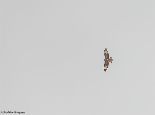 Honey Buzzard (Pernis apivorus) -- Birdingtrip Turkey 2015