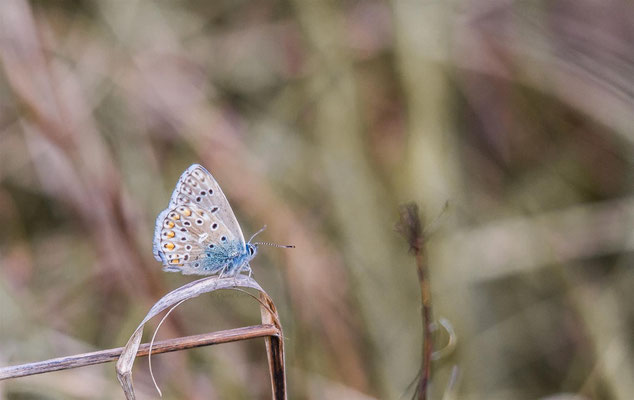 Adonis Blue -- Kaiserstuhl  / Germany