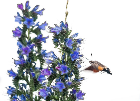 Hummingbird hawk-moth  --  Niedermorschwihr  / France