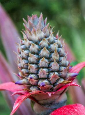 Ananas  |   Pineapple  (Ananas comosus) -- Peru / Centro De Rescate Taricaya