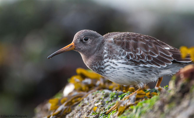 Purple Sandpiper (Calidris maritima) -- Zeeland / Netherlands -- December 20134