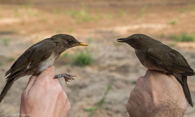 Creamy-bellied Thrush (Turdus amaurochalinus) - Black-billed Thrush (Turdus ignobilis) -- 2016